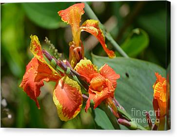 Golden Canna I Canvas Print by Don Columbus