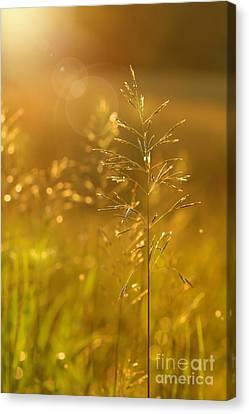 Golden Glow Canvas Print by Sandra Cunningham