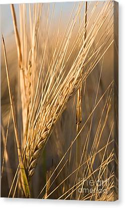 Golden Grain Canvas Print by Cindy Singleton