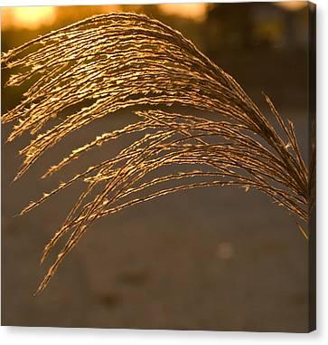 Golden Grass Canvas Print by Douglas Barnett