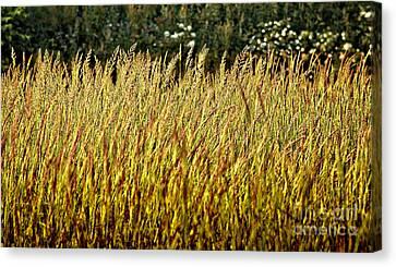 Golden Grasses Canvas Print by Meirion Matthias