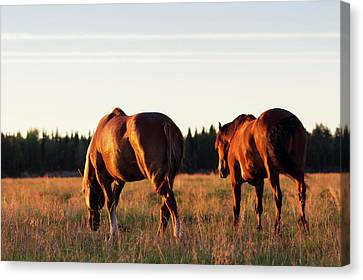 Golden Horses Canvas Print by Svetlana Svetlanistaya
