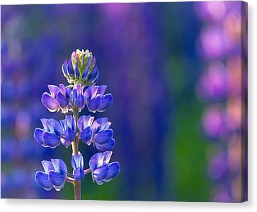 Golden Hour Lupine Canvas Print by Mary Amerman