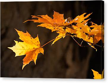 Golden Maple Arch Canvas Print by Ross Powell