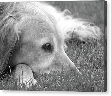 Golden Retriever Dog In The Cool Grass Monochrome Canvas Print by Jennie Marie Schell