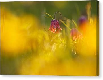 Golden Sundown Canvas Print by Roeselien Raimond