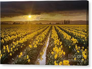 Golden Sunset Daffodil Fields Light Canvas Print by Mike Reid
