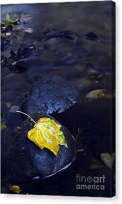 Golden Sycamore Leaf Canvas Print by William Cleary