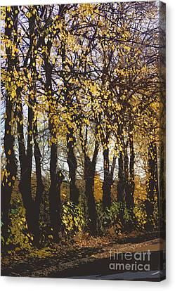Golden Trees 1 Canvas Print by Carol Lynch