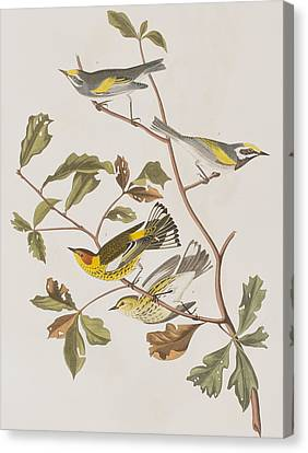 Golden Winged Warbler Or Cape May Warbler Canvas Print by John James Audubon