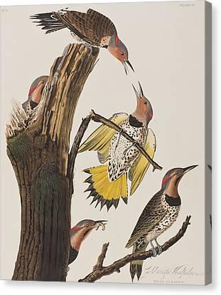 Golden-winged Woodpecker Canvas Print by John James Audubon