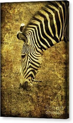 Golden Zebra  Canvas Print by Saija  Lehtonen