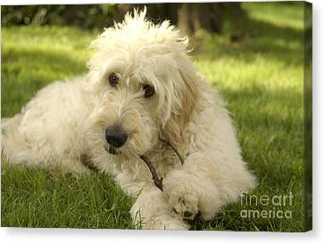 Goldendoodle Puppy And Stick Canvas Print by Anna Lisa Yoder