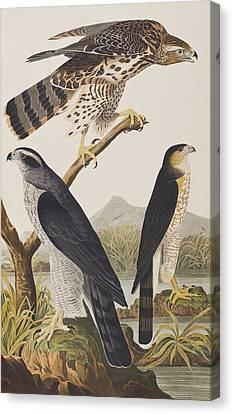 Goshawk And Stanley Hawk Canvas Print by John James Audubon
