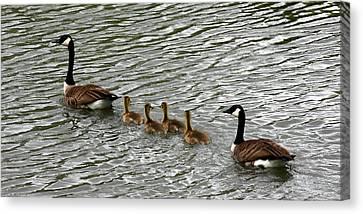 Got All Your Ducks In A Row Canvas Print by David Dunham
