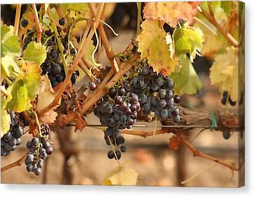 Grape Harvest Canvas Print by Art Block Collections