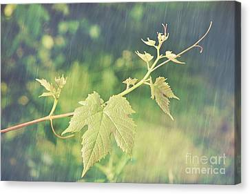 Grape Vine Against Summer Background Canvas Print by Sandra Cunningham