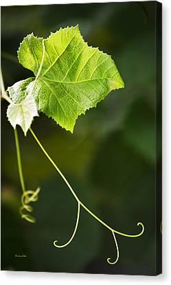 Grape Vine Canvas Print by Christina Rollo