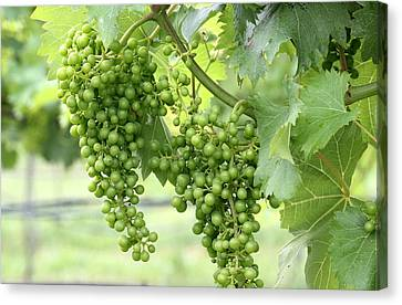 Green Vineyard Grapes Canvas Print by Brian Manfra