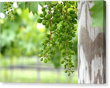 Grapes On The Vine Canvas Print by Brian Manfra