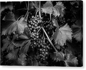 Grapes In Black And White Canvas Print by Greg Mimbs