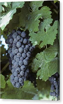 Grapes On The Vine Canvas Print by Kenneth Garrett