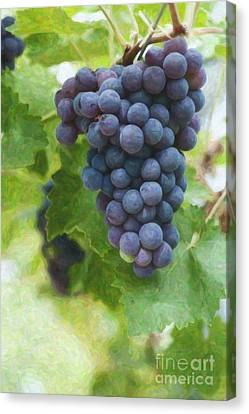 Grapes On The Vine Canvas Print by Tim Gainey