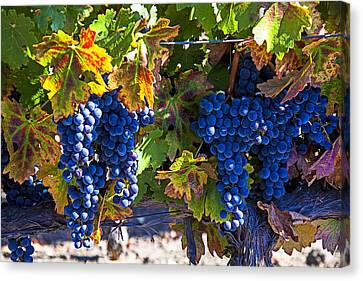 Grapes Ready For Harvest Canvas Print by Garry Gay