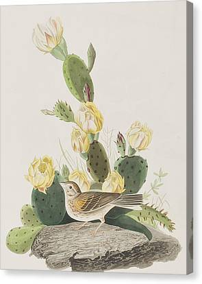 Grass Finch Or Bay Winged Bunting Canvas Print by John James Audubon