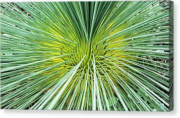 Grass Tree - Canberra - Australia Canvas Print by Steven Ralser