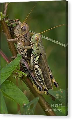 Grasshopper Sex Canvas Print by Warren Sarle