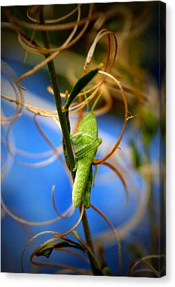 Grassy Hopper Canvas Print by Chris Brannen