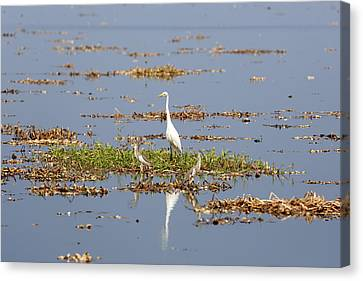 Grat Egret - India Canvas Print by Joana Kruse