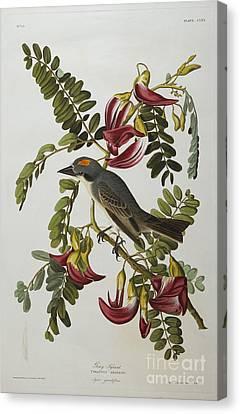 Gray Tyrant Canvas Print by John James Audubon