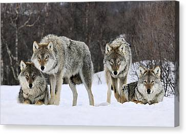 Gray Wolves Norway Canvas Print by Jasper Doest
