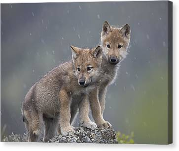 Gray Wolf Canis Lupus Pups In Light Canvas Print by Tim Fitzharris