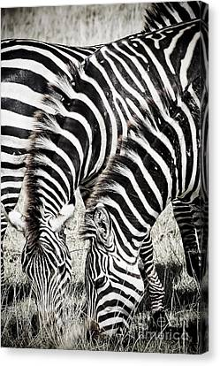 Grazing Zebras Close Up Canvas Print by Darcy Michaelchuk