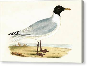 Great Black Headed Gull Canvas Print by English School