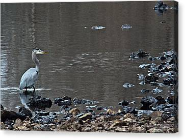 Great Blue Heron Wading 1 Canvas Print by Douglas Barnett