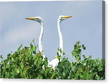 Great Egrets On The Lookout Canvas Print by Ellie Teramoto