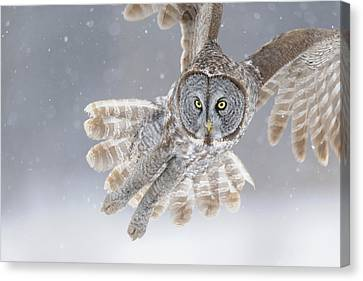 Great Grey Owl In Snowstorm Canvas Print by Scott  Linstead