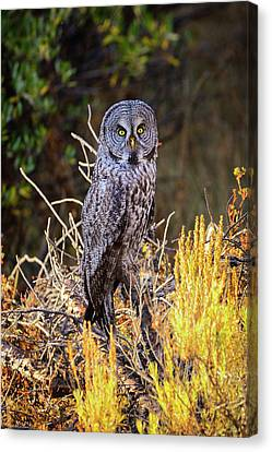 Great Grey Owl Portrait Canvas Print by Greg Norrell
