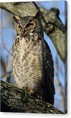 Great Horned Owl In Morning Sun Canvas Print by Coby Cooper