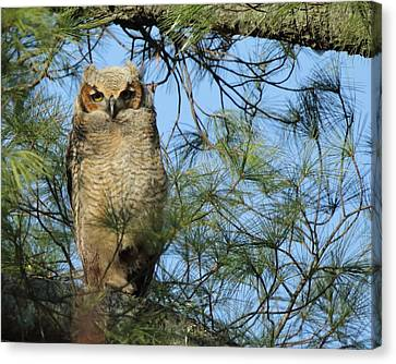 Great Horned Owl In Pine Left Canvas Print by Coby Cooper