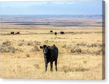 Great Plains Steer Canvas Print by Todd Klassy