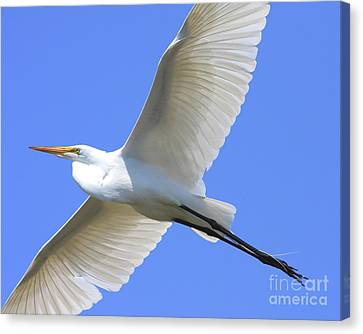 Great White Egret In Flight . 40d6850 Canvas Print by Wingsdomain Art and Photography
