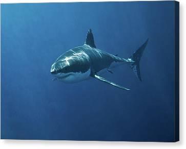 Great White Shark Canvas Print by John White Photos
