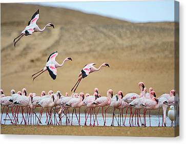 Greater Flamingos Phoenicopterus Canvas Print by Panoramic Images
