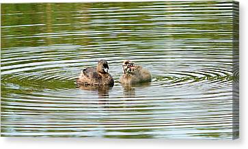 Grebes And Ripples Canvas Print by Marv Vandehey