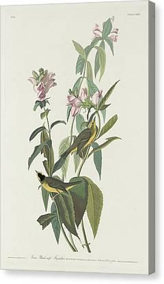 Green Black-capt Flycatcher Canvas Print by John James Audubon